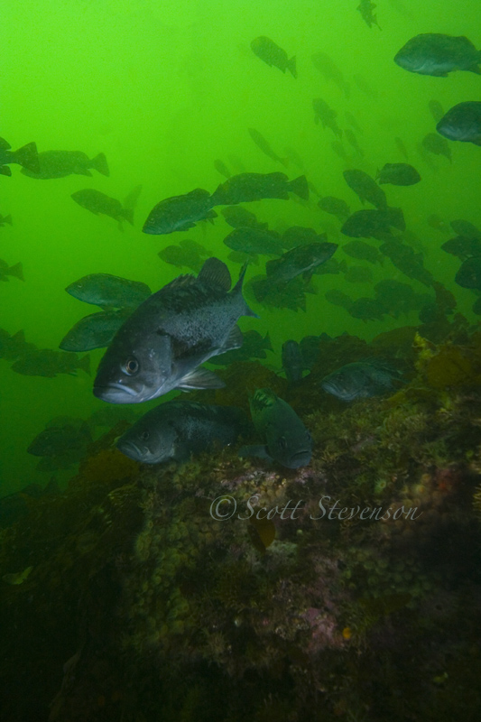 Black Rockfish, 5 Fathom Port Hardy BC