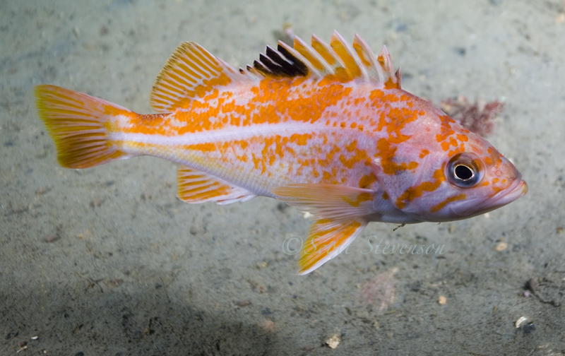 Canary Rockfish, Brotchie Ledge Victoria BC