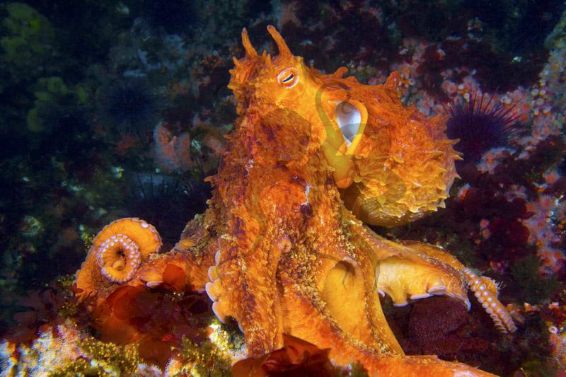 Giant Pacific Octopus, Quadra Island BC