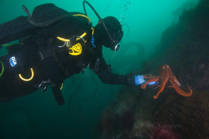 Giant Pacifc Octopus, Swordfish Island BC