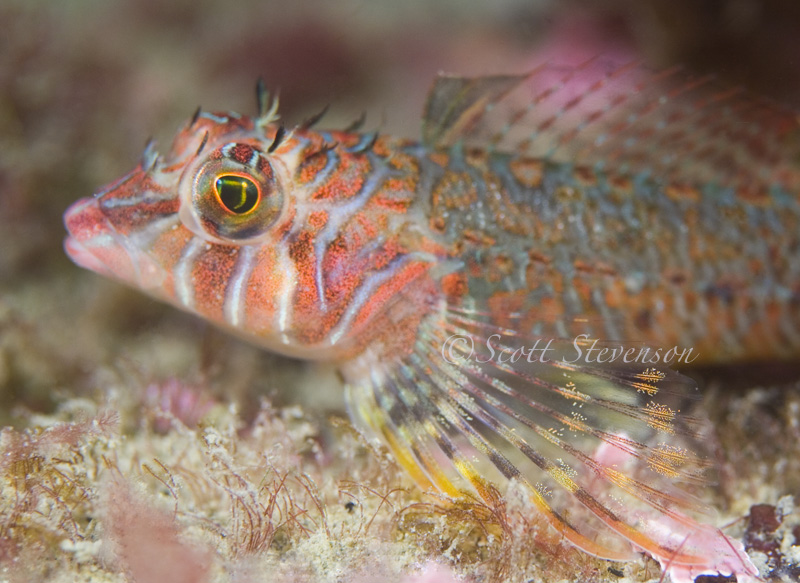 Longfin Sculpin, Neck Point Nanaimo BC