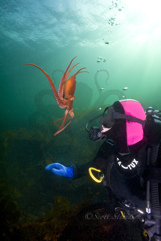 Giant Pacifc Octopus, Dolphin Beach BC