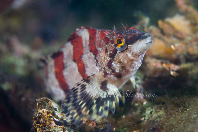 Painted Greenling, Ogden Point Breakwater BC