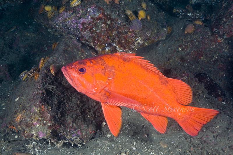 Juvenile Vermillion Rockfish, Wall Beach BC