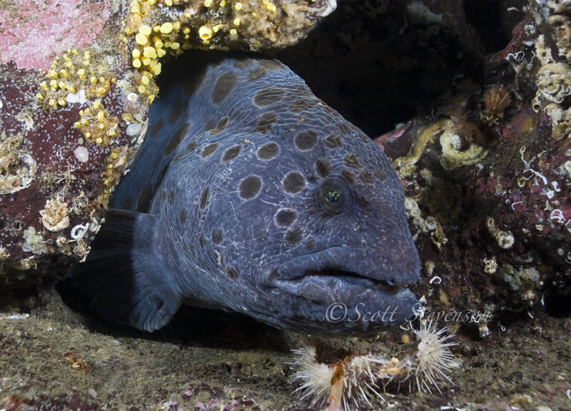 Wolf eel, Madrona Point BC